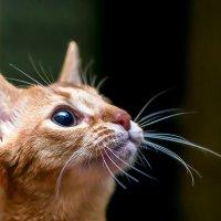 Абиссинская кошка :: Богдан Петренко