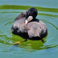 Лысуха. Почему эту птицу называют «водяной курицей»? :: Наталья