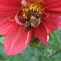 Пчелка :: Наталья Александрова