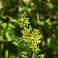 Есть особая прелесть в цветах полевых.... :: Galina Leskova