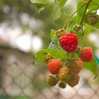 ягода малина........ :: Светлана З