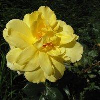 Желтая роза. :: Людмила Ларина