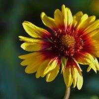 Осенние цветы :: юрий Амосов