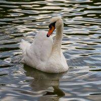 А белый лебедь на пруду... :: Eugen Pracht