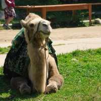 Верблюд :: Renata Bogatova