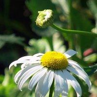 И в сентябре цветут ромашки! :: Наталья