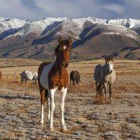 Лошади Алтая :: Альберт Беляев