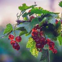 Красная смородина :: Дарья Зилова