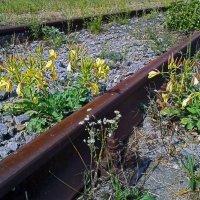 Цветы железнодорожные :: Константин Николаенко