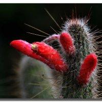 Цветущий кактус. :: Leonid Korenfeld