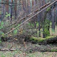 Глухо шепчет тёмный лес... :: Галина Стрельченя