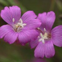 Цветочки :: Зоя Мишина