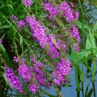 Водяные цветочки. :: Александр Атаулин