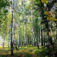 Дорога в берёзовом лесу. :: Борис Митрохин