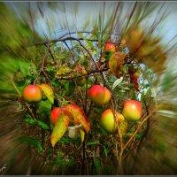Райские яблочки... :: Fededuard Винтанюк