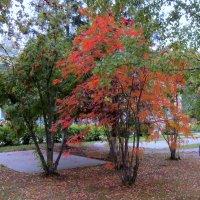 Осень наряжается . :: Мила Бовкун