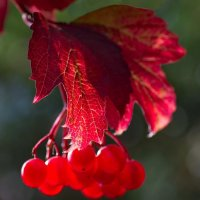 Солнечная ягода :: Юрий Кольцов