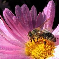 Труженица пчёлка. :: Hаталья Беклова