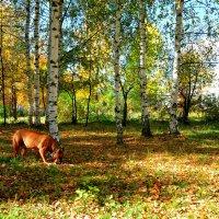 Под сенью желтеющих берез... :: Владимир Буев