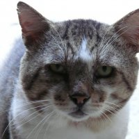 Критский кот :: Наташа Ашатан
