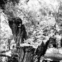 Дерево в Таврическом саду :: Максим Максим