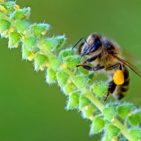 Пчелка :: Галина (GalinaZD) Захарова