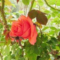 роза... :: Андрей Котов