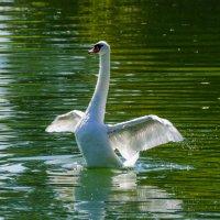 Белый лебедь. :: Eugen Pracht