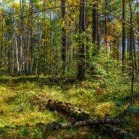 Прибайкальский лес. :: Rafael