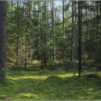 Хвойный лес. :: Роланд Дубровский