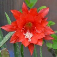 Эпифиллум в цветении :: Наталья Мельникова
