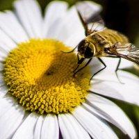 Пчела :: Олег Кириленко