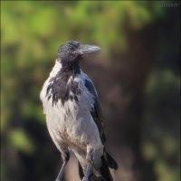 Греческая ворона... :: Андрей Медведев