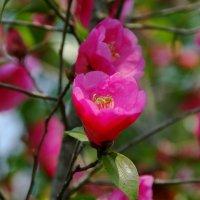 Сад камелий (Camellia Hill) на острове Чеджу :: Tatiana Belyatskaya