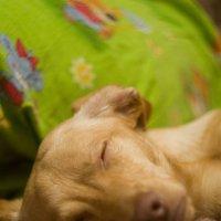 Собака спит, она устала... :: Людмила Велькер