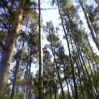 Сосновый лес :: Миша Любчик