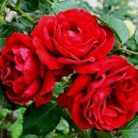 Три красных розы :: Милешкин Владимир Алексеевич