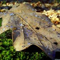 Дубовый листок в серебряной росе :: Андрей Заломленков