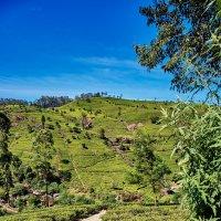 Место, где растет чай. Цейлон. Шри Ланка :: Иван Пшеничный