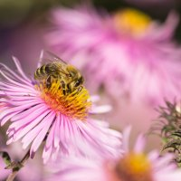 Пчела :: Лана Тихонова