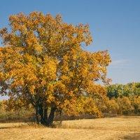 Осенний дуб под Оренбургом :: Андрей Липов