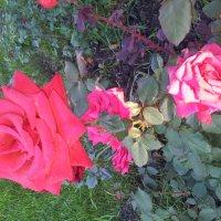 Розы :: Мария Владимирова