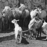 Ну и кто тут против козла?! :: Андрей Зенков