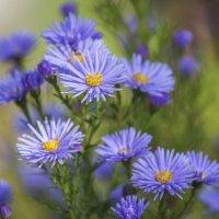 осенние цветочки :: Лариса Батурова