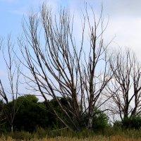 Погибшие деревья. :: Борис Митрохин