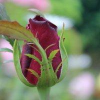 Роза :: Valeri Kn
