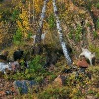 осень..туры..то есть козы... :: зоя полянская