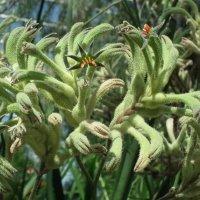 Диковинное растение анигозантос :: Natalia Harries