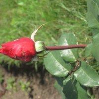 Мой сад - роза Красный Бархат :: Tatyana Kuchina