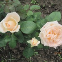 Мой сад - мои розы Кремовые Бархатные :: Tatyana Kuchina